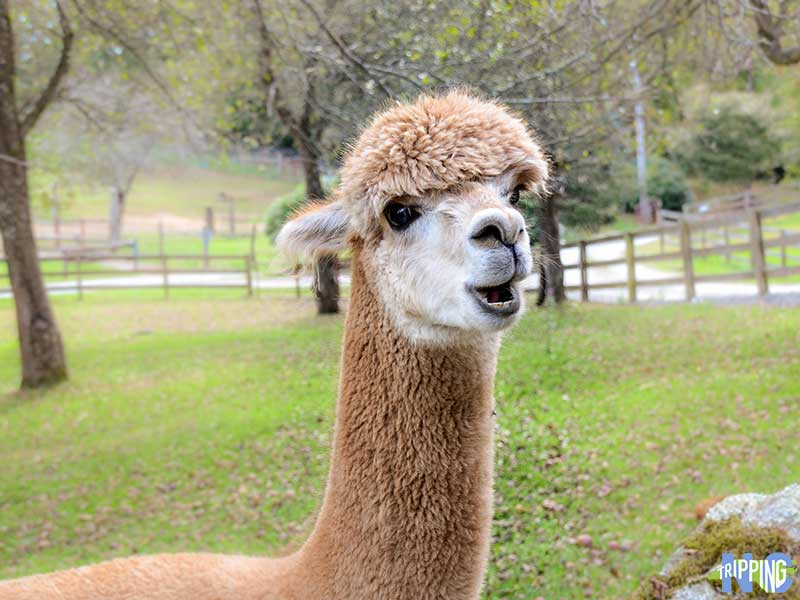 Alpaca at Apple Hill Farm North Carolina