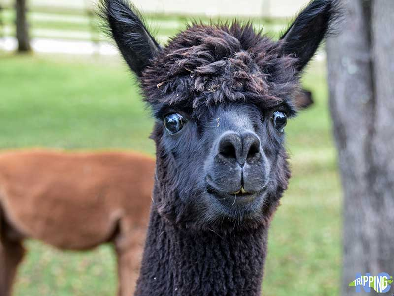 Apple Hill Farm Alpaca