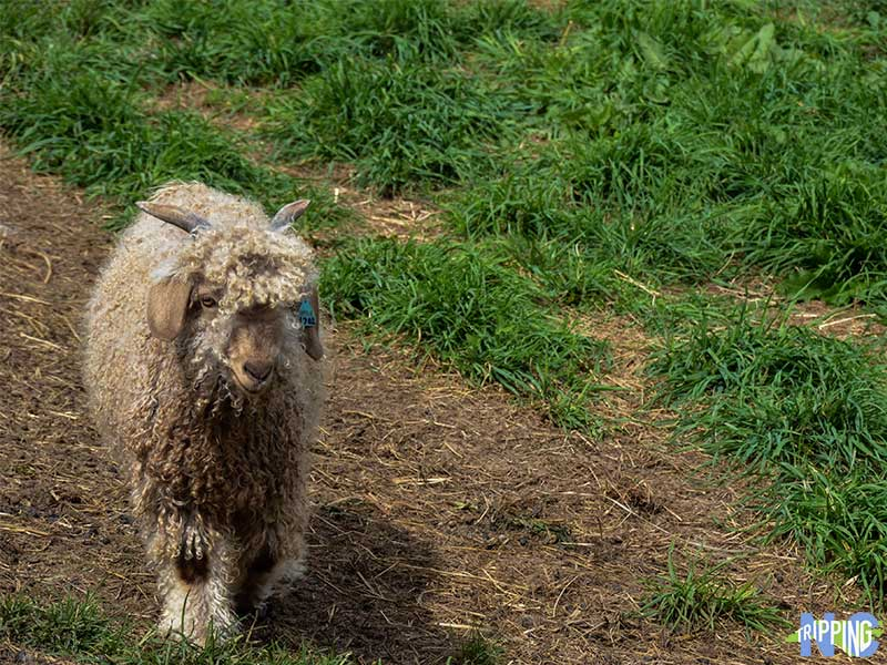 Apple Hill Farm Angora Goat