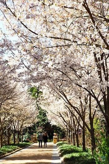 Sarah P Duke Gardens Durham NC Spring Cherry Blossoms Image