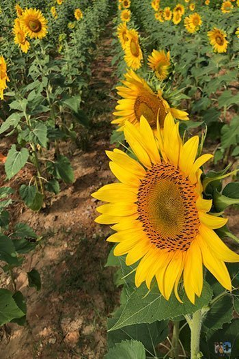 Dix Park sunflowers Raleigh NC Travel Guide Image
