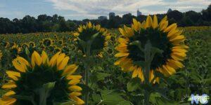Raleigh Sunflowers Dorothea Dix Park North Carolina