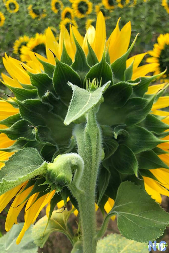 Raleigh Sunflowers at Dorothea Dix Park North Carolina