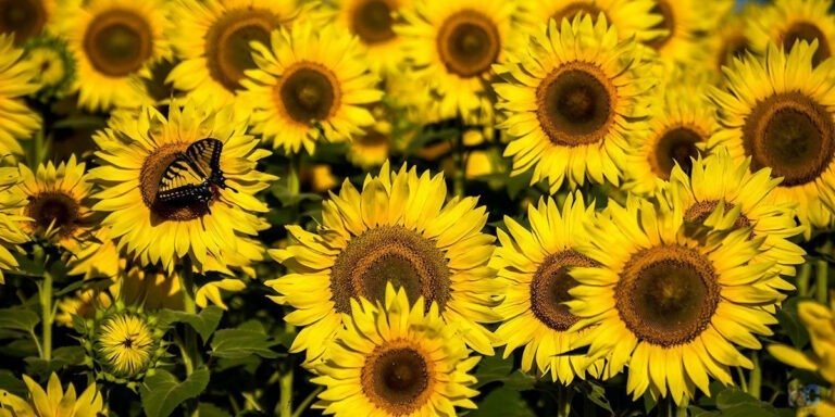 Dorothea Dix Park Sunflowers Raleigh NC Travel Guide Featured Image