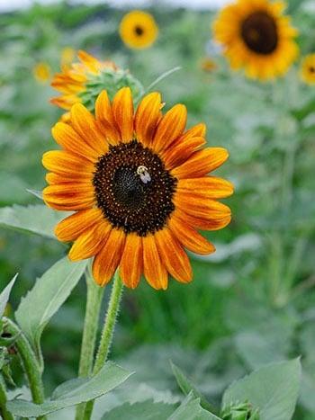 Dorothea Dix Sunflowers Image