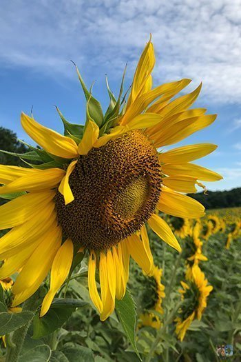 Free Things to Do in Raleigh NC Dorothea Dix Park Sunflowers Image