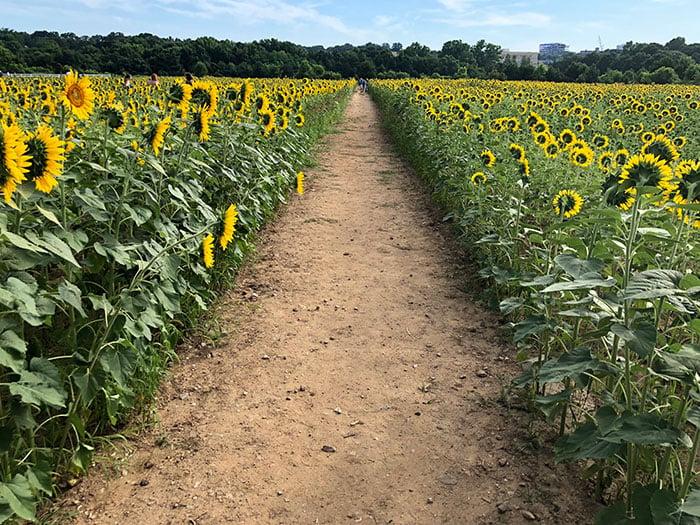 Sunflowers Raleigh NC Dorothea Dix Park Image