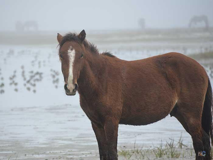 Beaufort NC Rachel Carson Preserve Wild Horses Image