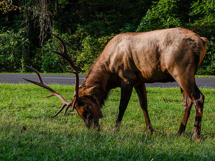 Great Smoky Mountains National Park Elk Crossing Image