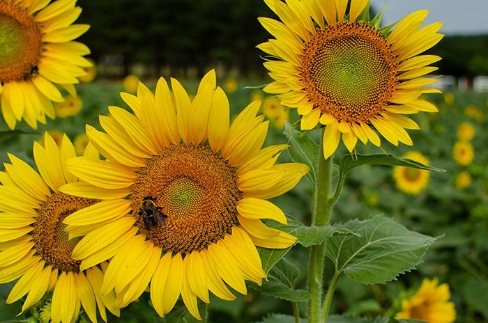 Raleigh Sunflowers Dorothea Dix Park Image