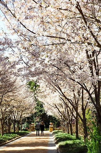 Durham NC Sarah P Duke Gardens Spring Cherry Blossoms Image
