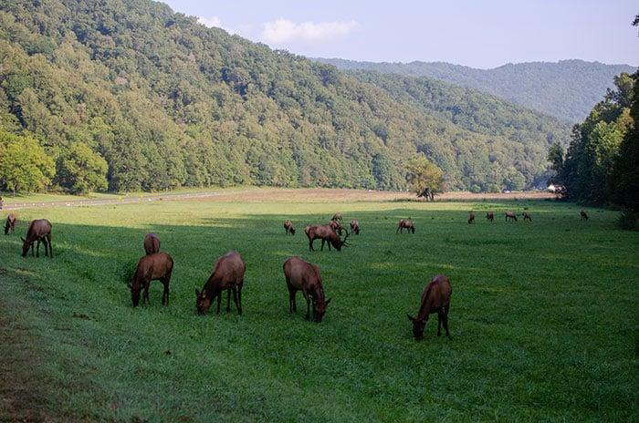 Ocanoluftee Visitors Center Elk