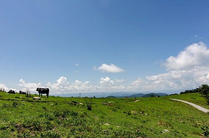 Cows at Bearwallow Mountain