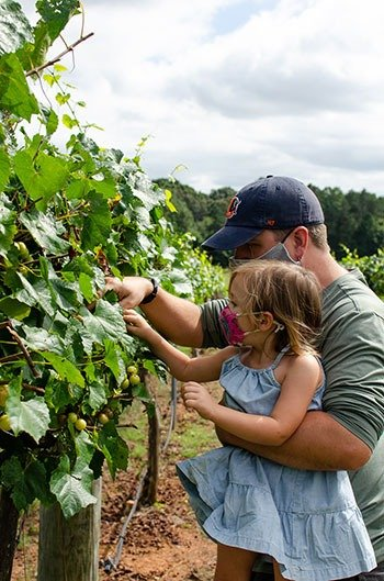 Family friendly muscadine picking in NC