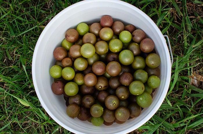 Using muscadine grapes in North Carolina