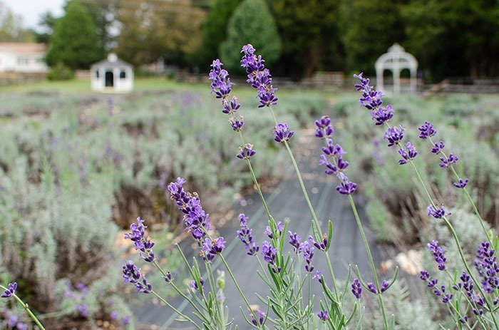 Dallas Lane Lavender Things to do in Gaston County