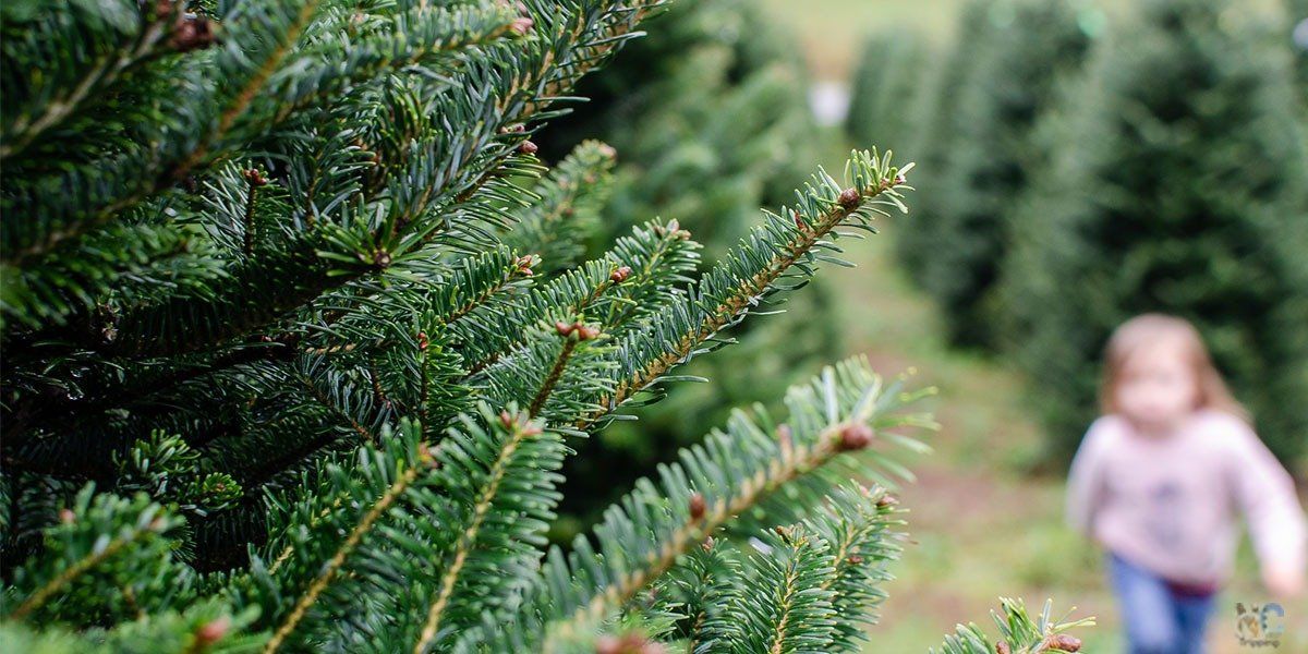 Since the holiday season will be gone before we know it, here are 13 of our favorite Christmas tree farms in North Carolina!