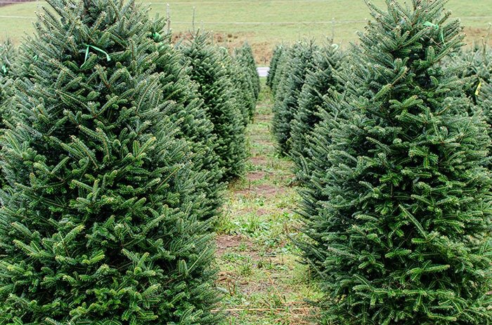 Christmas tree farms in North Carolina are a big deal because we have some of the best!