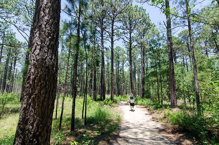 Carvers Creek State Park Longleaf Pine Trail