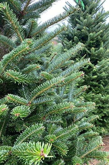 High Country NC Christmas Tree Farms Ashe County