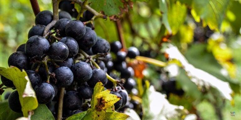 Best North Carolina Wineries and Vineyards