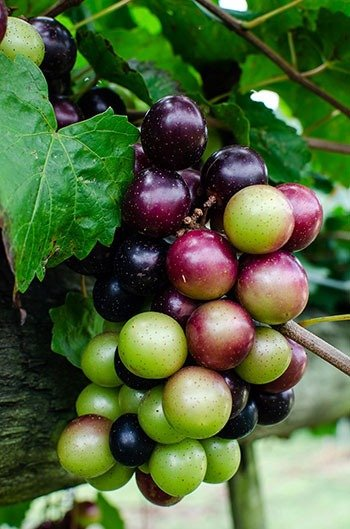 Muscadine grapes in NC