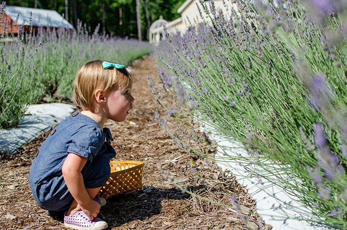 Cutting lavender at Lavender Farm in NC