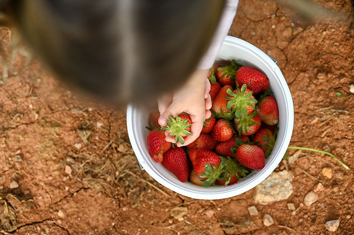 picking strawberries in nc