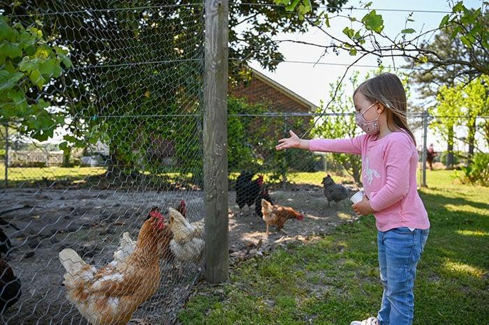 Feeding chickens at Huffman Vineyards