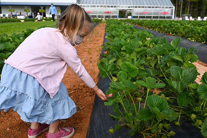 Strawberry picking in NC