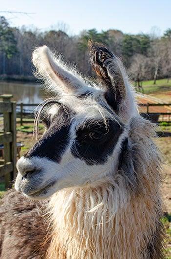 Yadkin Valley Wineries Divine Llama