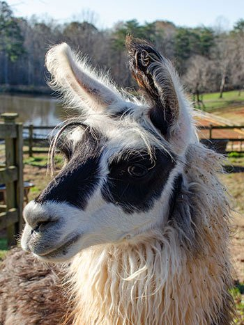 Kid Friendly Wineries in North Carolina Divine Llama