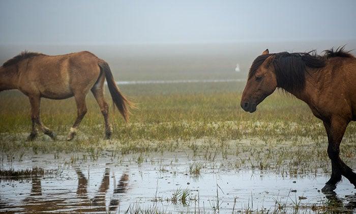 Things to Do in North Carolina Rachel Carson Reserve Wild Horses