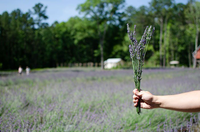 Day Trips from Durham Chapel Hill Lavender Oaks