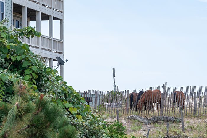 Outer Banks Wild Horses by a house