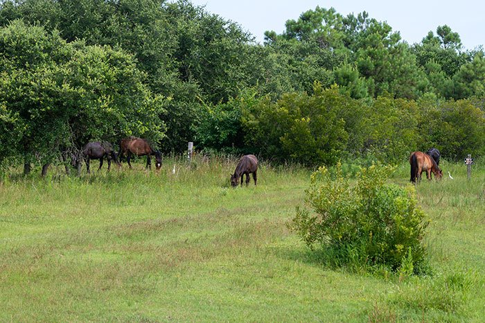 Outer Banks Wild Horses in a pack