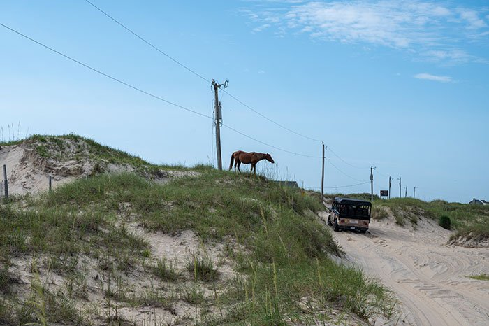Outer Banks Wild Horses seeing a horse