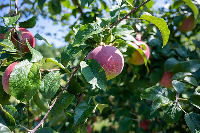 Apple Picking in Hendersonville Apples in NC