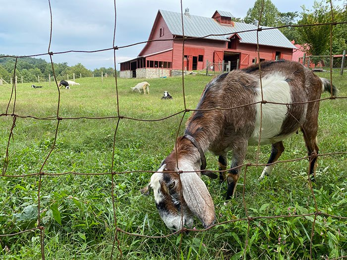 Carl Sandburg Home goats