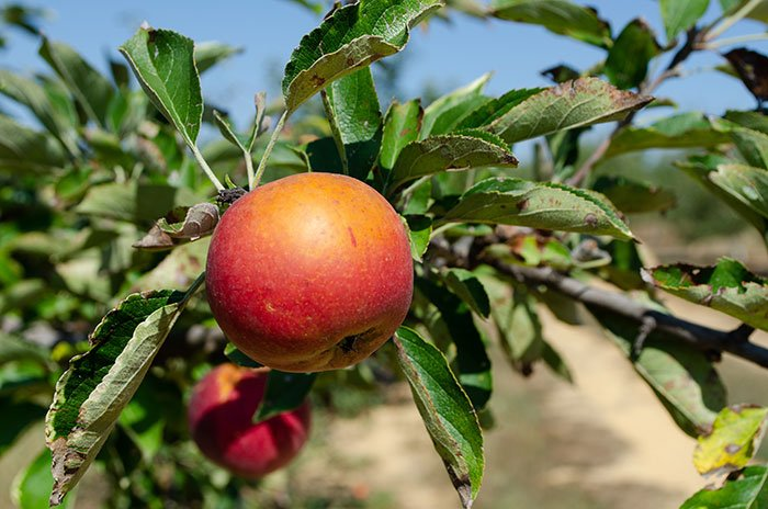 Fall in North Carolina Apple Picking at Millstone Creek Orchards Ramseur