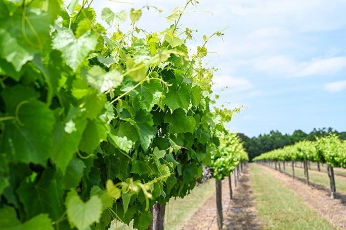 Fall in North Carolina Muscadine Festival Duplin Winery