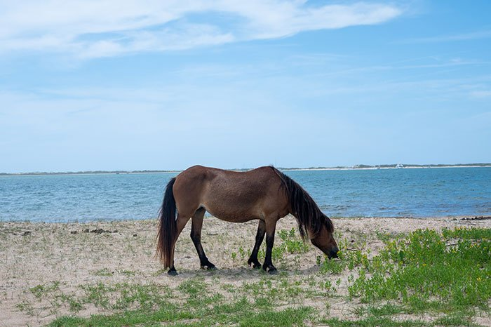 Things to Do in Beaufort NC Shackleford Banks Wild Horse Tours