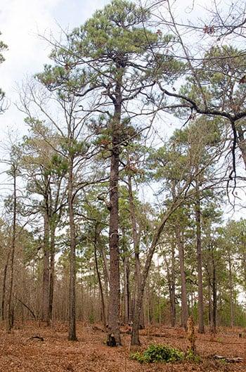 Weymouth Woods oldest longleaf pine