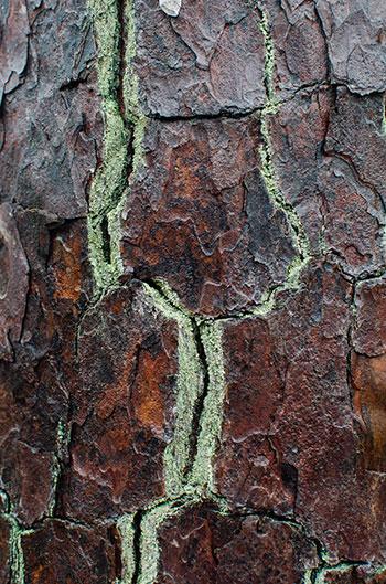 Weymouth Woods tree