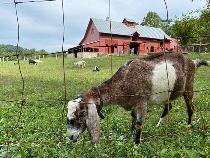 Henderson County NC Connemara Goats Carl Sandburg Home