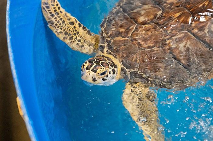Things to do on Topsail Island Karen Beasley Sea Turtle Hospital turtle