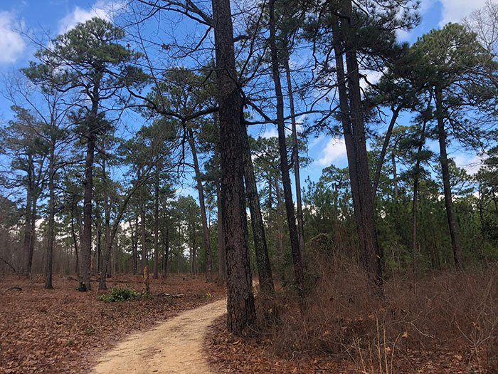 Weymouth Woods Boyd Tract Oldest Living Longleaf Pine Tree