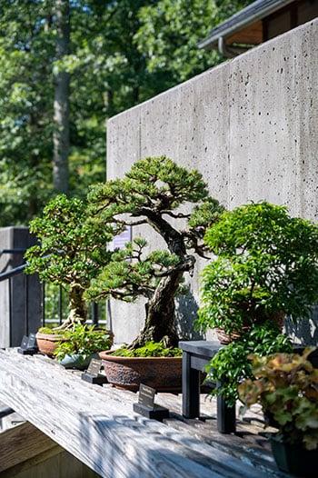 North Carolina Arboretum bonsai trees