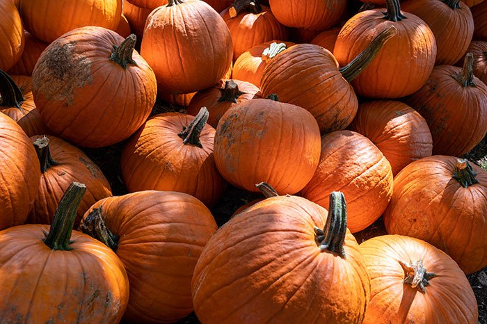 Pumpkins in NC